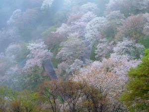 吉野 桜 名所 おすすめ 2