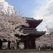 和歌山県 桜 穴場 名所 2016 花見 スポット 2
