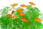 金魚すくいの金魚の飼育方法!種類や病気、金魚鉢はいるの?