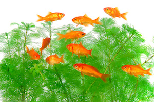 金魚すくいの金魚 飼育 方法