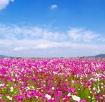 コスモス畑は関西の名所へ!観光におすすめな見頃もご紹介!