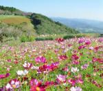 コスモス畑は関東の名所へ!観光におすすめな見頃もご紹介!