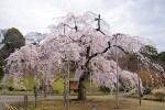 しだれ桜の関東の名所をご紹介!開花時期や見どころとは?