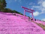 芝桜は北海道へ!名所やおすすめのスポット、ライトアップしてるのは?