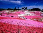 芝桜は関東へ!名所やおすすめのスポット、ライトアップしてるのは?