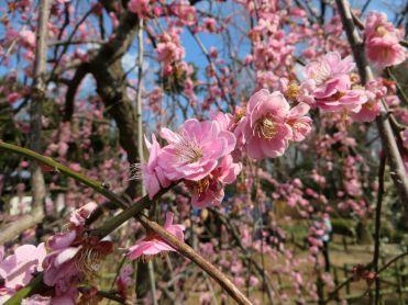 setagaya-plum-festival-hanegi-park-7