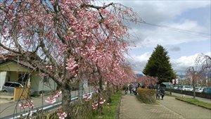 喜多方しだれ桜並木バリアフリー情報