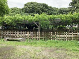 百畳敷の大藤が咲く玉敷公園