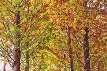 【彰化社頭】調色盤裡的漸層落羽松在祕境森林中轉紅了