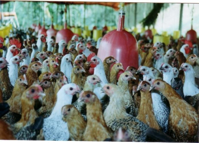 Memelihara ayam kampung Petelur