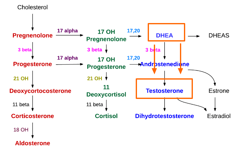 DHEA-Synthesis
