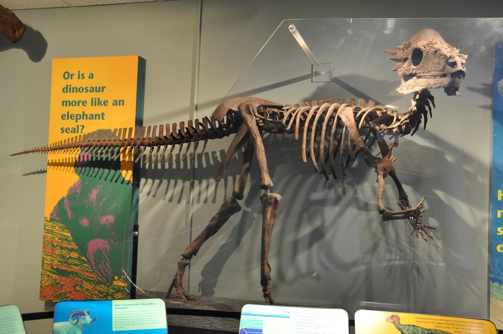 Colorado Museums Natural History Dino