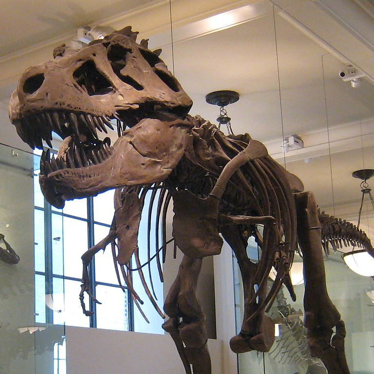 By User:Eqdoktor (Cropped copy of File:AMNH-TRex 3.jpg) [CC BY-SA 3.0 (http://creativecommons.org/licenses/by-sa/3.0)], via Wikimedia Commons