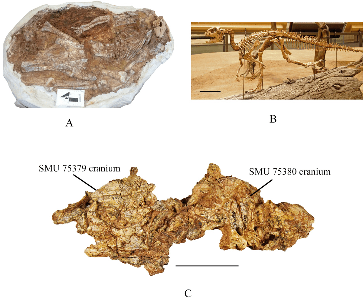 This Week in Dinosaur News: Two new ornithopods, one from Australia, and one from Texas