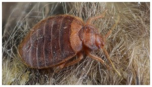 Bed Bugs Control Spray India