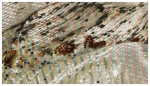 What Will Kill Bed Bugs