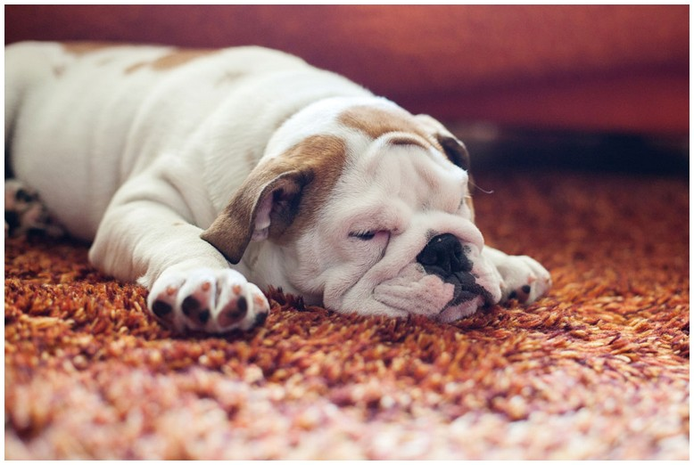 How To Get Rid Of Dog Mites In Carpet