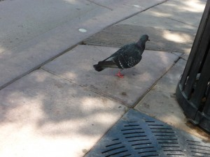 Pigeon californien