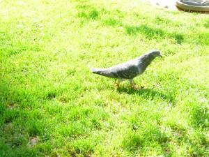 Un pigeon Franciscain