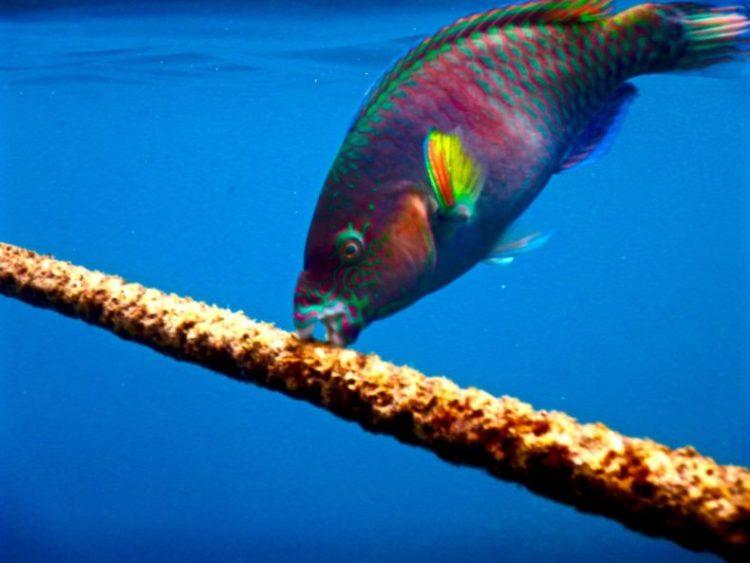 parrot-vissen-duiken