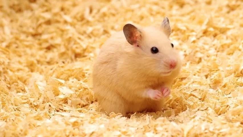 Golden Syrian Hamster