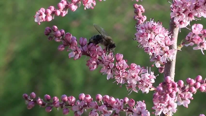 Image result for tamarisk flowers bees