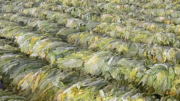Raw Tobacco - Image Copyright Picdn.Net / Shutterstock Stock Image