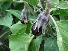 eggplant - -ilandvibez-stmaarten