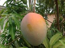 mango-ilandvibez-stmaarten