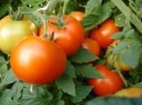 Tomatos-ilandvibez-stmaarten