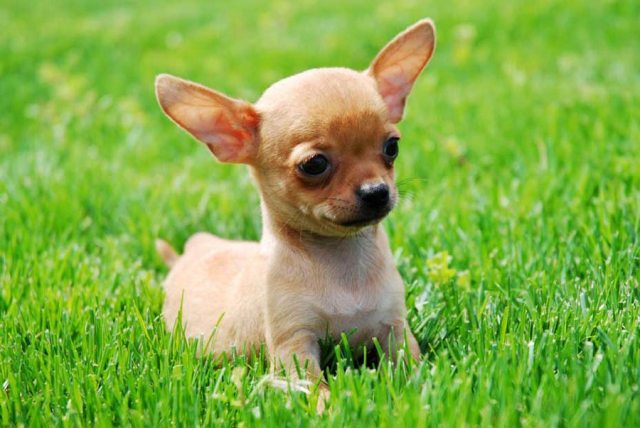 Image result for Toilet Training Chihuahua