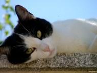 Languid cat