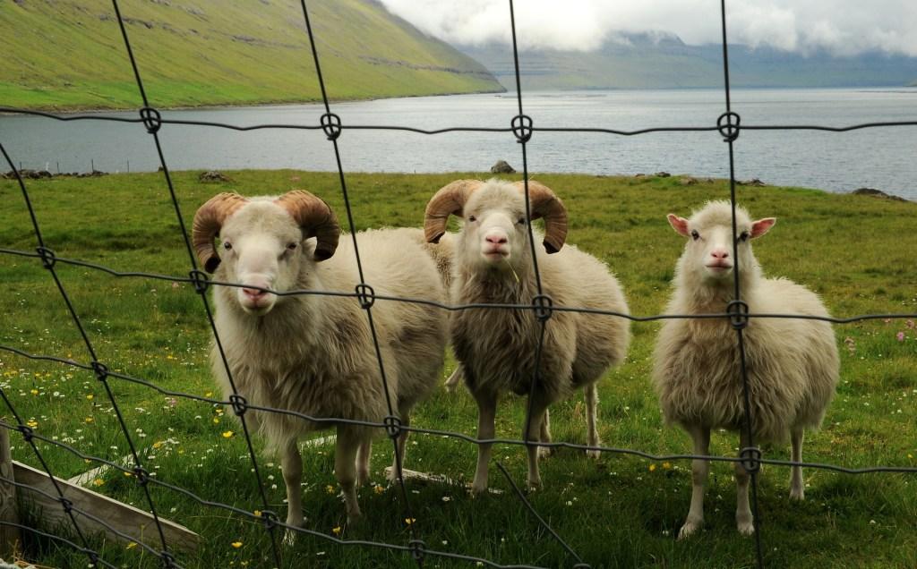 Alle FAROER la densità delle pecore supera quella degli umani!