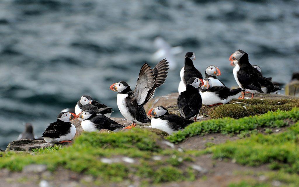 Un gruppo di PUFFINS alle FARNE ISLANDS