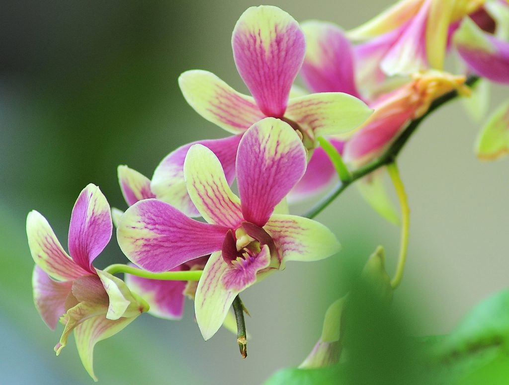 l'orchidea è il fiore simbolo della Thailandia