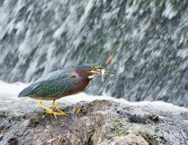 Green Heron with Fish at South Natick Dam