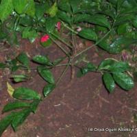 Ilê Orixá planta muda de Akoko
