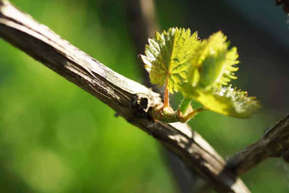 Jeune feuille de vigne