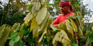coltivazione di coca