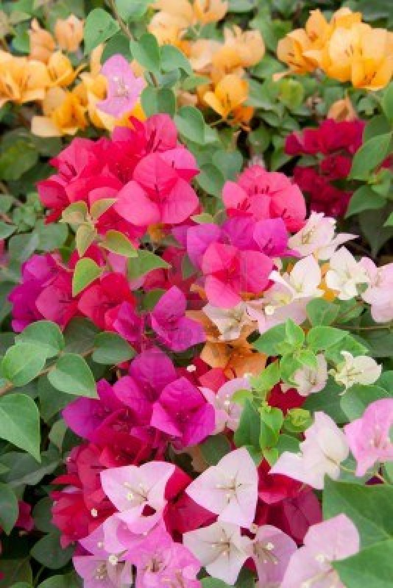 bougainvillea colouring pages