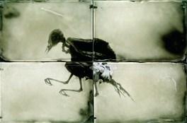 Bird quadriptych, Ambrotype 10x15cm, each