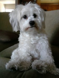 sam dog maltese white