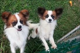 Kaaawa canines
