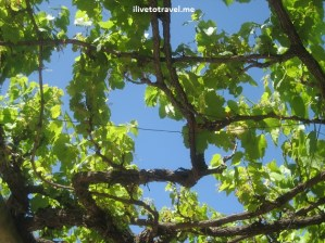 Vine against a perfect blue sky in Stellenbosch, South Africa
