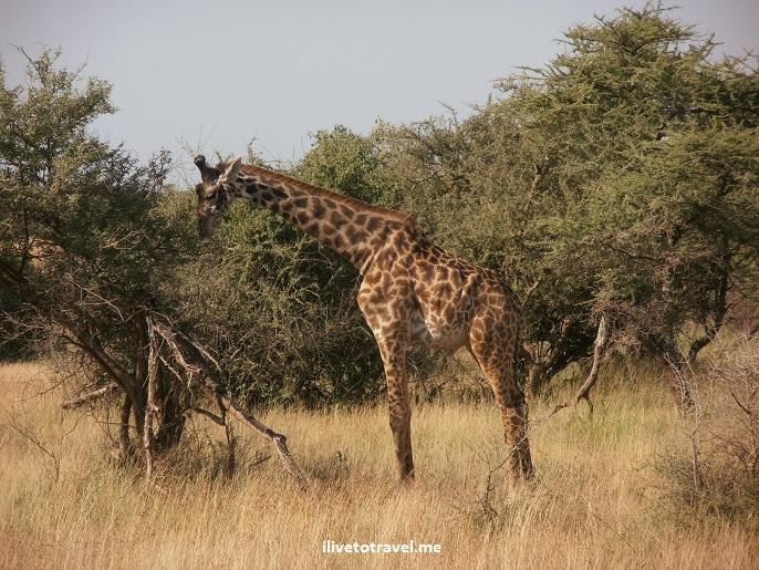 Safari, Serengeti, Tanzania, wildlife, animls, giraffe, outdoors, nature, photo,, Olympus, camera
