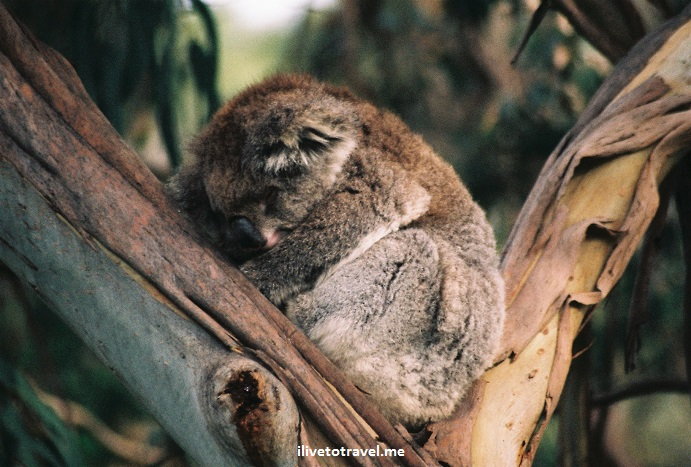 koala, Australia, Melbourne, Great Ocean Road, wildlife, tour,