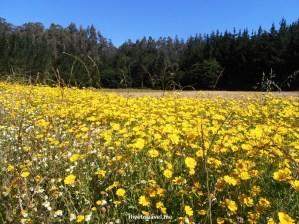 Camino de Santiago, yellow flowers, Lavacolla, Spain, España, Espagne, trekking, hiking, pilgrimage, travel, photo, outdoors, Olympus