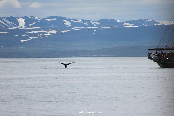 Iceland, sea, whale watching, Husavik, minke, humpback, whale,Canon EOS Rebel