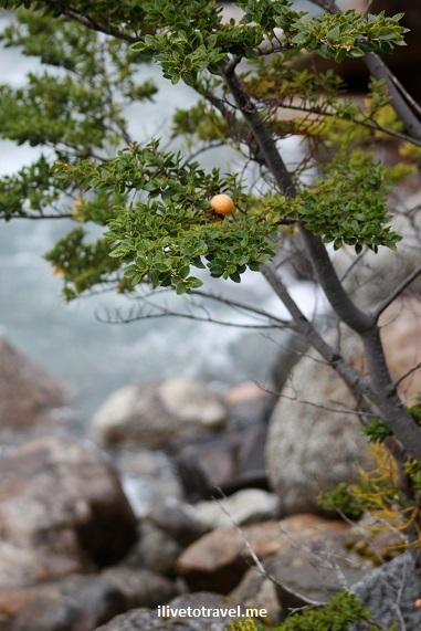 Flora, Patagonia, Serrano glacier, Chile, photo, vegetation, Canon EOS Rebel, bush, tree