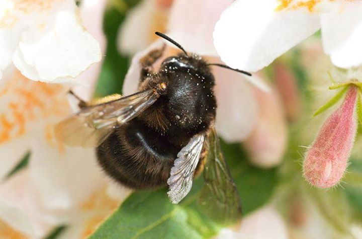 Black Bumble Bee >> Colin Tomlinson Managed To Capture This Image Of A Rare